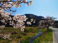 山の桜はこれからが見ごろ!いわき桜の名所情報 いわき桜2015
