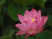 いにしえの花は夏の訪れとともに/白水阿弥陀堂 古代蓮(はす)