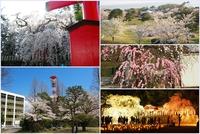 いわきの桜の名所まとめ2015