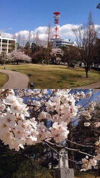 平中央公園の春 いわきの桜