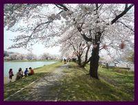 *しだれ桜遊歩道*