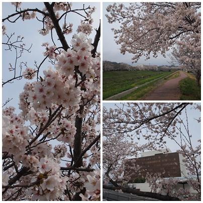 福島いわき桜の名所