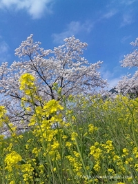 市役所裏 新川の桜 福島いわき桜の名所