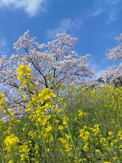 いわき万本桜プロジェクト