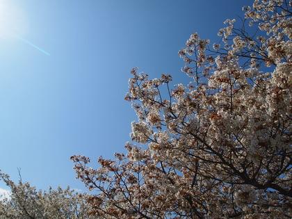 いわきマリンタワー 桜