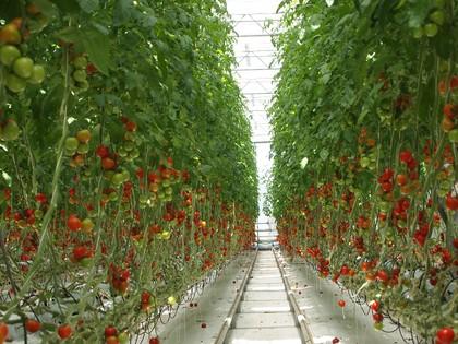 とまとランドいわき トマト収穫体験