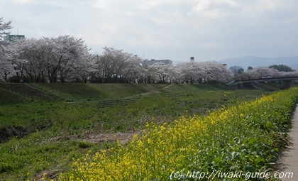 福島桜の名所 いわき新川