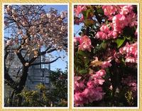 [八重桜&花海棠]。