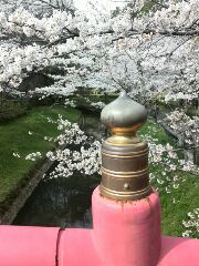 桜が咲いてきました。
