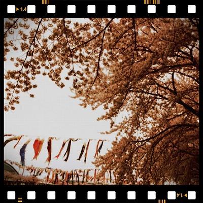 ◎2012:サクラ