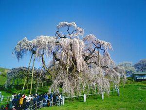 日本三大桜の一つ、「三春の滝桜」見頃