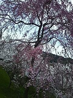 桜巡り^^