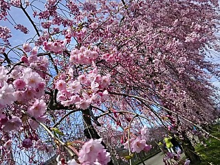喜多方日中線のしだれ桜^^