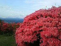 片曽山にはツツジが真っ盛り!
