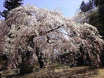 桜巡り^^二本松^^その1