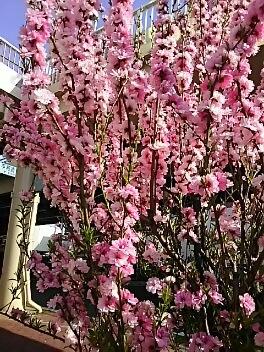 福島市駅前花盛り^^