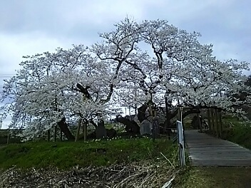 桜巡り^^会津^^