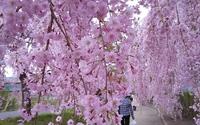 日中線のしだれ桜