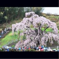 カサの花と桜