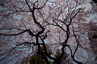 sakura 2010/04/24 20:00:00