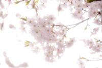 桜 2010/05/05 20:00:00