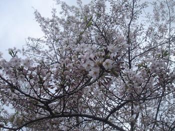 桜、開花!