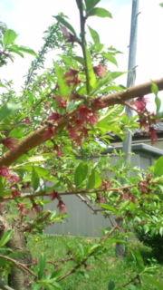 桃を愛する日々