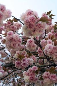 桜 -快晴の日の朝食-