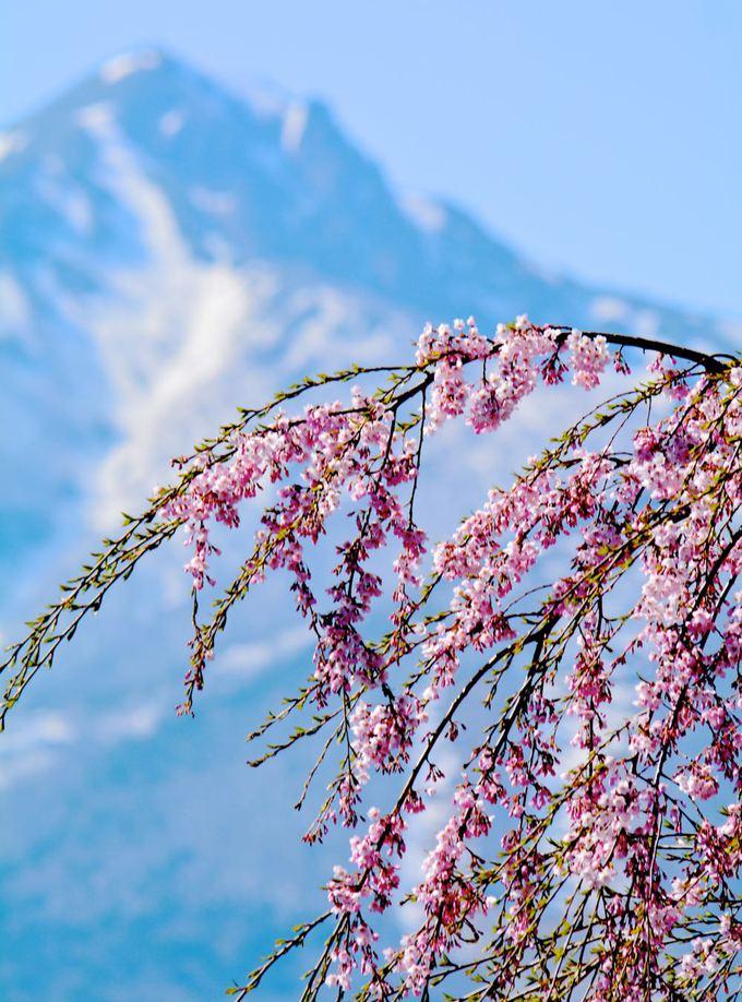 白津のしだれ桜