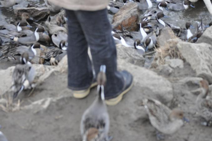 白鳥の里 2010.1.16.