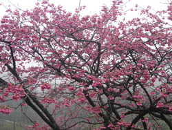 沖縄の桜まつり