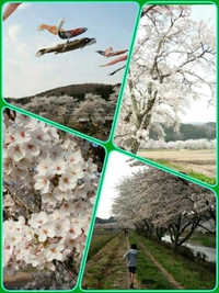 **満開桜**