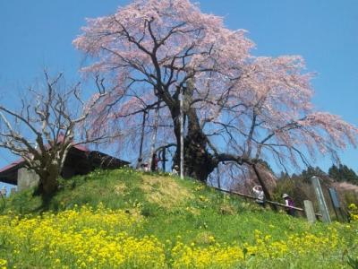 桜前線を追いかけて。郡山市中田町~山形県