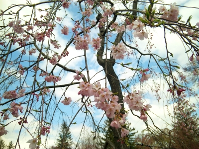 桜前線を追いかけて。郡山市~須賀川市