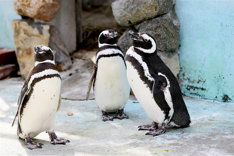 カッコいいペンギン!