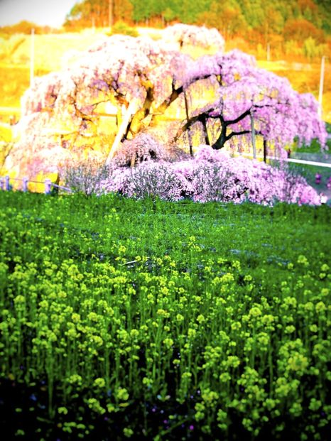 バイクで花見(滝桜)2