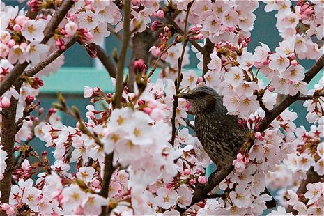 桜と、、、?