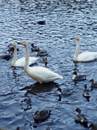 南湖公園の白鳥