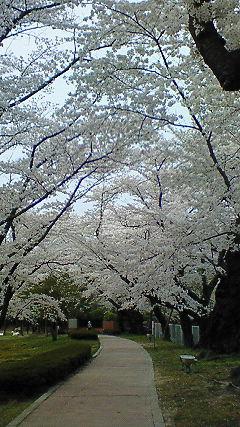 桜も終わりですね。