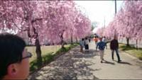 行ってきました…日中線桜