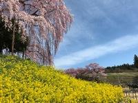 初めて来ました…合戦場の桜(⌒‐⌒)