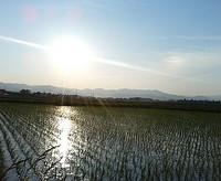 すくすくと・・・稲も伸びています^^