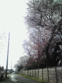 桜並木も色付いて来ましたね…