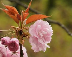 八重桜の花びらは300枚ぐらいあるらしい